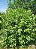 Cornus sanguinea, 3 x Dogwood, 20-40cm sapling tree