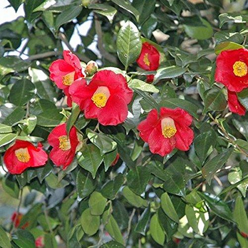 ヤブツバキ 樹高0.5m前後 10.5cmポット ツバキ 椿 苗木 植木 苗 庭木(お得なセット販売もございます)