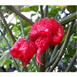 The Best Seller 100seeds/bag Carolina Reaper, hot chili seeds Organic Rainbow Bell Ghost Pepper seeds,Non-GMO House plants for garden