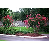 Tonto Crape Myrtle - Semi Dwarf / Mature Height: 8-10' - (Plant, Shrub, Tree Size at Shipping / 1 Gallon 1-3 Foot Height)