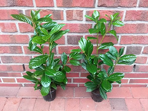 30 kirschlorbeer pflanzen prunus novita h he 30 40 cm ab topf. Black Bedroom Furniture Sets. Home Design Ideas
