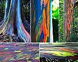 Regenbogenbaum 10 Samen- Bonsai