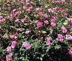"'Pink Knock Out' Rose Bush - Disease Resistant! - 4"" pot"