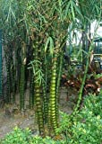 Exotic Plants Bambusa ventricosa - bambou ventre de Bouddha - 50 graines