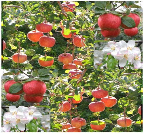 15 Malus pumila Red Delicious Apple Red Delicious Tree Seeds COLD HARDY Z 3 to 8