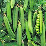 1 X PACK ONWARD PEA SEEDS GROWING HEALTHY GARDEN FOOD BEANS PEAS SEEDS