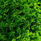 Fresh Fern Moss Perfect for Terrariums and Bonsai