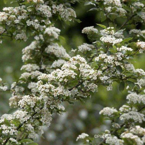 glanzmispel photinia villosa 60 100 cm 5l co. Black Bedroom Furniture Sets. Home Design Ideas