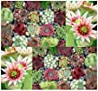 50 Sempervivum Hens & Chicks Cactus Mixed Seeds GORGEOUS House Leeks ~ BULK ~ These seeds are VERY small, each pack of seed will contain more than advertised. But if you are uncomfortable working with VERY small seeds please do NOT purchase this product.
