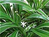 Bichetii Siam Spider Plant - Easy to Grow - Cleans the Air - NEW - 4