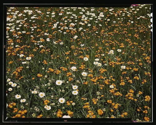 Photo Field of daisies and orange flowers, possibly hawkweed, Vermont 1939