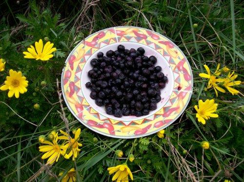 HighBush Blueberry 75+ seeds!!!