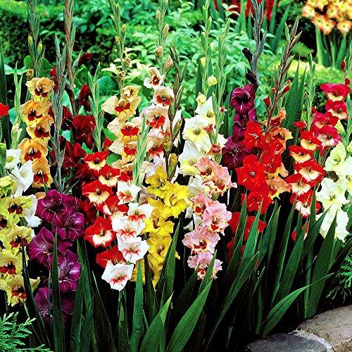 gladioli-large-flowering-mix-10-flower-bulbs