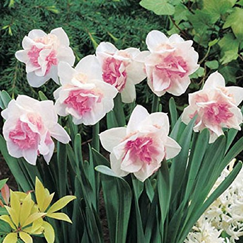 millthorpe-plant-centre-10-narcissus-replete-pink-double-daffodil-size-12-14-spring-flowering-bulb-f