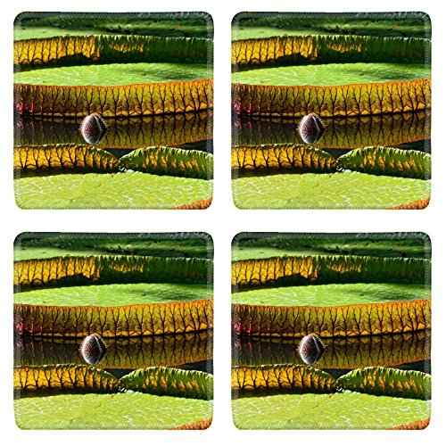 Coasters Giant amazonian lily in water at the Pamplemousess botanical Gardens in Mauritius Victoria amazonica Victoria regia Image 19845737 by MSD Square Coaster (4 Piece) Set Cup Mat Mug Can Water Bottle Drink Customized Stain Resistance Collector Ki...
