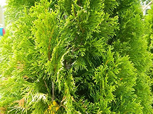 thuja-green-giant-arborvitae-lot-of-15-live-plants-10-19-tall-ships-in-25-x-35-deep-pots-with-soil-b