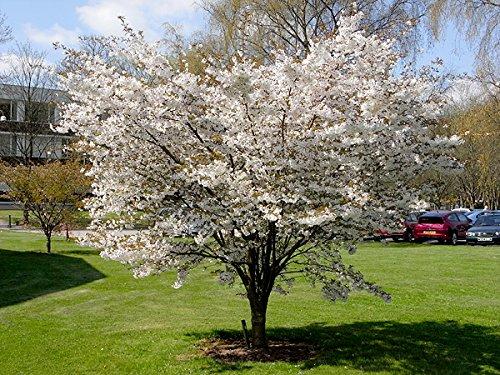 flowering-cherry-the-bride
