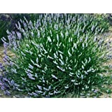 """'Provence' French Lavender - Potted - Very Fragrant - 3"""" Pot -Indoors/Out"""
