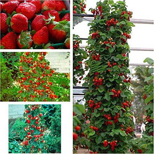 red-300-pcs-strawberry-climbing-strawberry-fruit-plant-seeds-home-garden-new