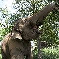 Karishma the Elephant adoption Pack