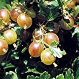 Pixwell Green Gooseberry Bush - Pie Makers' Favorite - 4