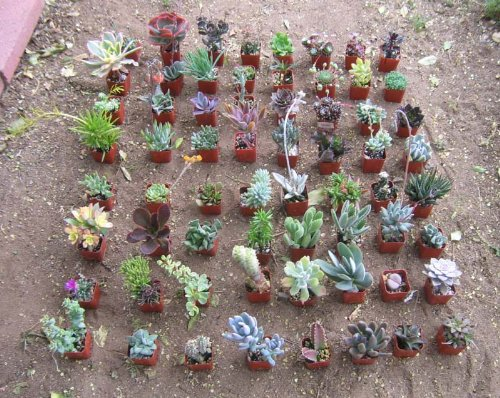 Collection of 64 Unique Succulents No Two Alike