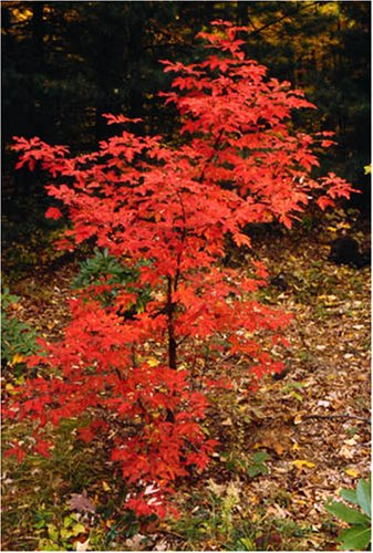 Buy Acer Griseum Paperbark maple tree 3 ft+ Tall