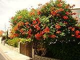 TRUMPET VINE Campsis radicans vigorous CLIMBER WITH orange OR red TRUMPET FLOWERS