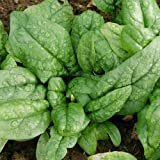 1 X PACK SAMISH SPINACH SEEDS GROWING HEALTHY GARDEN FOOD VEGETABLE SEED