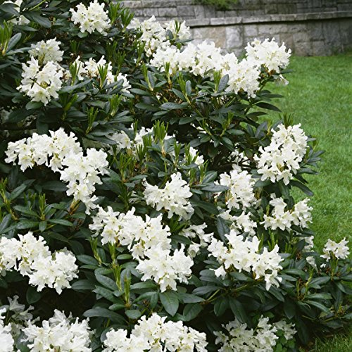 rhododendron-2-liter-weiss-cremeweiss-1-pflanze