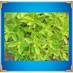 Stevia Seeds 200pcs Stevia Herbs Seeds Green Herb rebaudiana Semillas sweet leaf chrysanthemum for home Garden Plant seeds