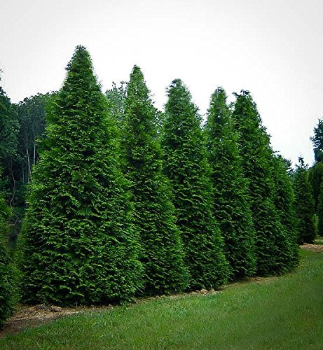 3-arborvitae-green-giant-thuja-plicata-4-inch-pot-6-12-tall-one-plant-per-pot-3-pots-per-order