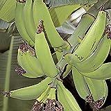 Musa Dwarf Puerto Rican Plantain fruit tree Live Plant Tropical garden fruiting