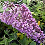 PACK OF 3 Buddleia davidii Gulliver - Grown in 9cm Pot - Buddleja Butterfly Bush Shrub Plant