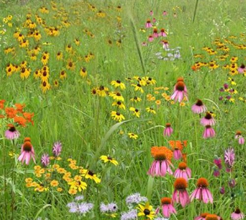 short-grass-meadow-mix-mix-111-500-certified-pure-live-seed-true-native-seed