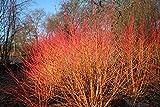 Dogwood - Cornus Sanguinea - 15 seeds - Ornamental Shrub - Berries - Zbera Seeds