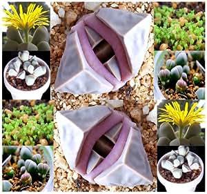 20 x Karoo Rose Lapidaria Margaretae - Rare mesembs living rock stome CACTUS cacti Succulent SEEDs - By MySeeds.Co