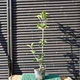 ヒイラギモクセイ(柊木犀) 樹高0.4m前後 ポット苗 常緑小高木