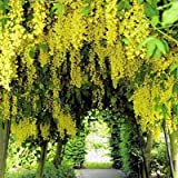 GOLDEN CHAIN TREE - LABURNUM ANAGYROIDES 50 seeds