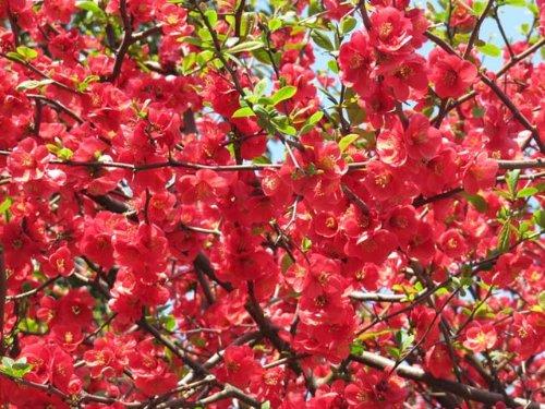 【6か月枯れ保証】【春に花が咲く木】ボケ 0.6m