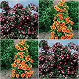 (Combo Of 2 Colors) Floral Treasure Orange & Pink Climbing Rose Seeds - Pack Of 20