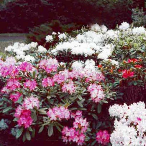 rhododendron-yakushimanum-hybrids-seeds
