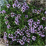 Package of 5,000 Seeds, Mother of Thyme / Creeping Thyme (Thymus serpyllum) Open Pollinated Seeds by Seed Needs