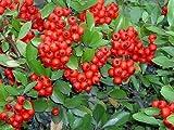 25 SCARLET FIRETHORN Pyracantha Coccinea Flower Shrub Bush Seeds