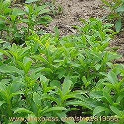 100% Real Stevia Seeds Health Sugar Herbs Plants Bonsai Sementes Outdoor Garden Stevia Seed