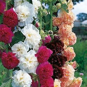 Suttons Seeds 117489 Mélange de graines de roses trémières