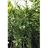 Finger Lime, Australian Green 'Citrus Caviar' Sweet Tart Lime Flavor, Fruit Citrus Tree Plant (1 Gallon (4 inch Citra Pot))