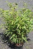 Fargesia murielae rufa- Garden Bamboo Plant Approx 1M tall