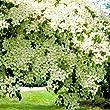 Cornus kousa - 2 shrubs