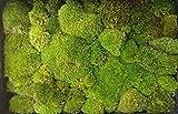 【ヤマゴケ 山苔 350×500】 日陰を好む苔ですが案外陽射しにも強くテラリウム・盆栽用に最適